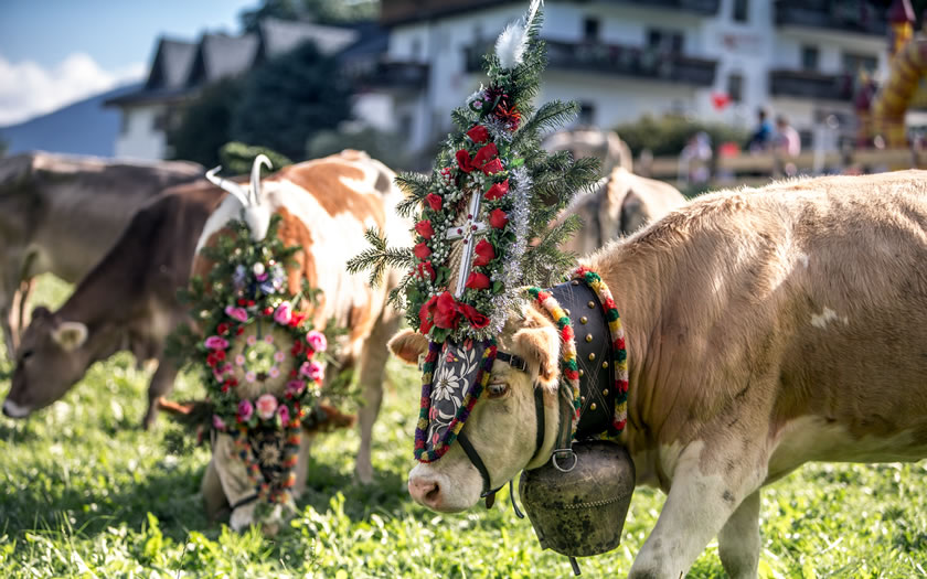 Decorated cows for the Almabtrieb celebrations in the village of Fügen