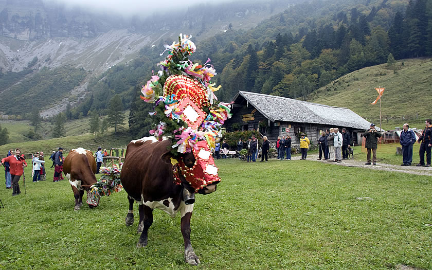 The cows are decorated when they come down from the mountains in the Fuschlsee region of the Salzkammergut