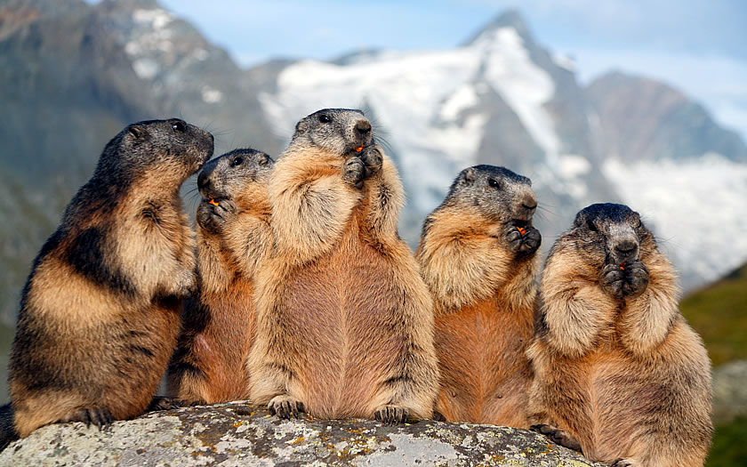 Marmots can often be seen by the side of the road up to the glacier near the Großglockner.