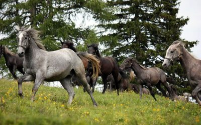 Lippizaner stallions in the mountain pastures