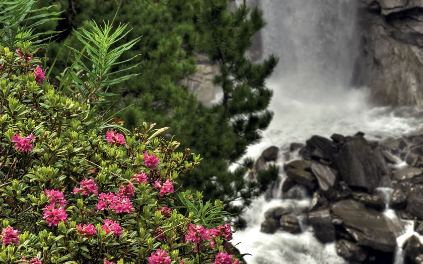 The alpenrose blooming near Obergurgl