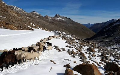 The sheep drive from the South Tyrol into the Ötz valley