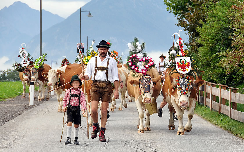The cows returning from the mountains in Reith im Alpbachtal