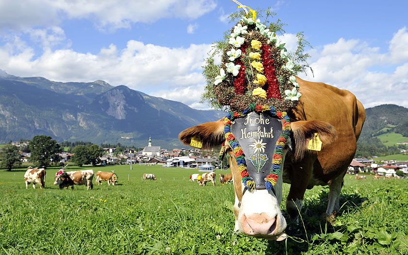 A decorated cow for the Almabtrieb celebrations
