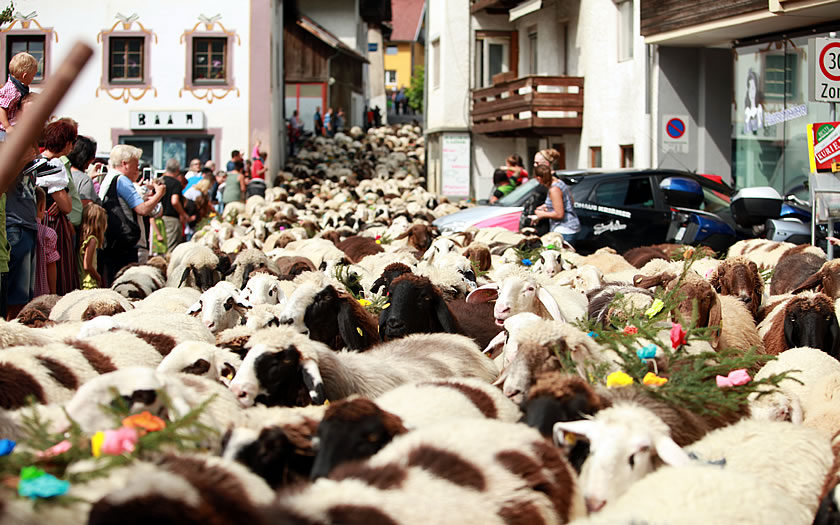 Sheep being driven through the narrow streets of Tarrenz