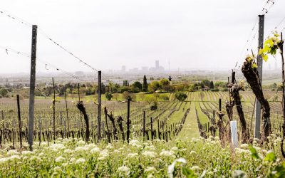 Vineyards with a view of Vienna
