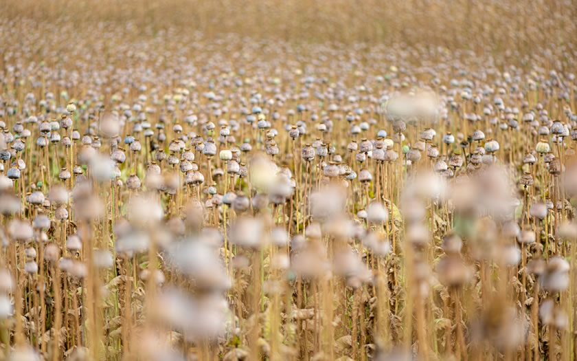 Field of poppies in the Waldviertel